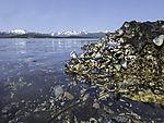 Blue Mussel rock, Mytilus edulis