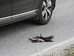 Carrion Crow as road casualty, Corvus corone