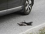 Nebelkrähe als Verkehrsopfer, Corvus corone