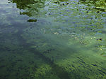 green algae on lake Alster