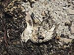 tote Ente am Strand von Helgoland