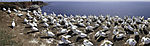 colony of Northern Gannets on island Helgoland panorama, Morus bassanus