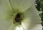 Dunkle Erdhummel in Malvenblüte, Bombus terrestris, Malva sp.