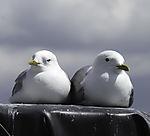 Sturmmöwen Paar, Larus canus