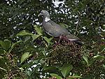 Ringeltaube im Holunderbusch, Columba palumbus, Sambucus nigra
