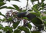 Ringeltaube frißt Holunderbeeren, Columba palumbus, Sambucus nigra