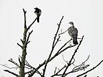 Elster und Ringeltaube im Baum, Pica pica, Columba palumbus