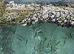 Schwarm Jungfische