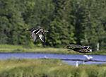 fliegende Stockenten, Anas platyrhynchos