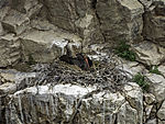 Schwarzstorch auf Nest, Ciconia nigra