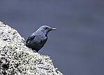 Blaumerle, Monticola solitarius
