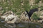Schwarzstorch badet, Ciconia nigra