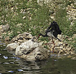 Schwarzstorch nach dem bad, Ciconia nigra