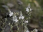 blühender Ästiger Affodil, Asphodelus ramosus