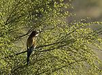 Bienenfresser, Merops apiaster