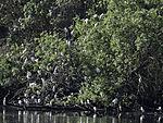 Kuhreiherkoline am Zujar, Bubulcus ibis