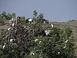 Kuhreiherkolonie mit Storchennest am Zujar, Bubulcus ibis, Ciconia ciconia