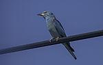 Blauracke auf Draht, Coracius garrulus