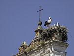 White Stork nests on steeple, Ciconia ciconia