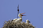 White Storks in heat, Ciconia ciconia