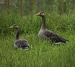 alert Greylag Geese in Grass, Anser anser