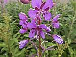 Willow Herb blossoms, Epilobium angustifolium