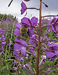 Willow Herb with Common Carder Bee, Epilobium angustifolium, Bombus pascuorum