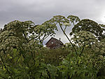 Hogweed and old barn, Heracleum sp.