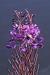 Willow Herb and Common Carder Bee, Epilobium angustifolium, Bombus pascuorum