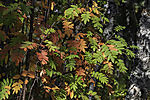 Rowan tree leaves in autumn colours, Sorbus aucuparia