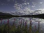 Willow Herbs at lake Prestvannet, Epilobium angustifolium
