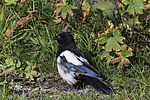 tousled Magpie, Pica pica