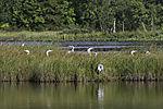flock of Grey Herons on lake Prestvannet, Ardea cinerea