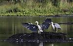 Grey Herons on lake Prestvannet, Ardea cinerea