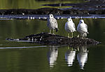 juvenile Great Black-backed Gull and Common Gulls, Larus marinus, Larus canus