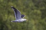 Great Black-backed Gull in flight, Larus marinus