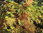 leaves of Rowan tree in late summer, Sorbus aucuparia