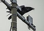 Raven on antenna, Corvus corax