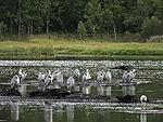 flock of Grey Herons, Ardea cinerea