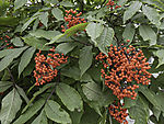 Scarlet Elderberry, Sambucus racemosa