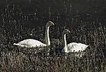 Whooper Swans pair, Cygnus cygnus