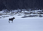Moose on the ice, Alces alces