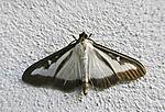 Box Tree Moth, Cydalima perspectalis