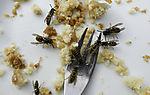 Wasps on dessert plate, Vespula sp.