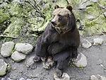 Kamtschatkabären wartet auf Futter, Ursus arctos beringianus