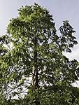 Urwelt-Mammutbaum, Metasequoia glyptostroboides