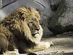 müder Löwen-Pascha, Panthera leo