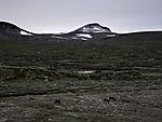 Rentiere im spätsommerlichen Saltfjell, Rangifer tarandus