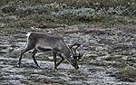 Rentier im spätsommerlichen Saltfjell, Rangifer tarandus
