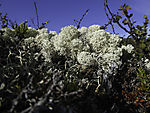 Rentierflechten im Dovrefjell, Cladonia rangiferina